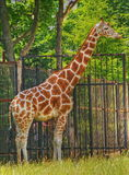 Giraffe in zoo Royalty Free Stock Photos