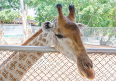 A giraffe at the zoo Stock Photo
