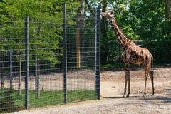Giraffe am Zoo, der seinen Stutzen ausdehnt Stockfotos