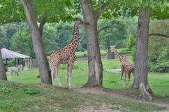 Giraffe , ZOO Dvur Kralove, eastern Bohemia. Czech Republic Royalty Free Stock Images