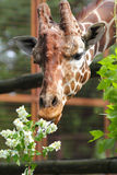 Giraffe at the zoo Royalty Free Stock Image