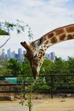 Giraffe. In a zoo eating some plants Royalty Free Stock Photos