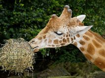 Giraffe in zoo eats hay from a hive stock images