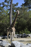 Giraffe in a Zoo Enclosure Royalty Free Stock Image