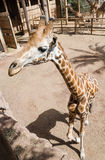 Giraffe in a zoo Stock Images