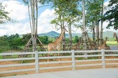 Giraffe in zoo royalty free stock image