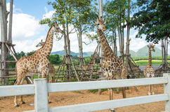 Giraffe in zoo Stock Images