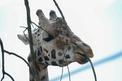 Giraffe feeds in a zoo. A giraffe in a zoo feeds on twiglets Royalty Free Stock Images