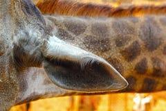 Giraffe at the Zoo - Giraffe ear. Royalty Free Stock Photos
