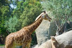 Giraffe in a zoo Royalty Free Stock Images