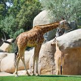 Giraffe in a zoo Royalty Free Stock Photo