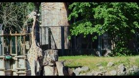Giraffe in the Zoo Giraffe in the Zoo