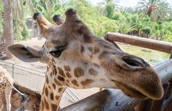 Giraffe in a zoo Royalty Free Stock Image