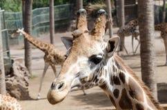Giraffe in a zoo Stock Photo