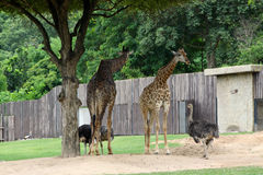 Giraffe in a zoo Royalty Free Stock Photos