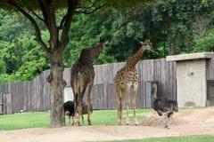 Giraffe in a zoo. Giraffe head africa african animal beautiful, big, cute ears, fun funny fur  herbivore high, horns long, mammal mouth nature neck nose nostril Royalty Free Stock Photos