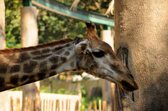 Giraffe at a zoo Royalty Free Stock Image