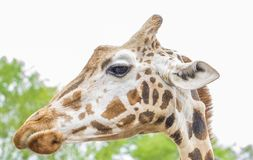 Giraffe in the zoo with long neck looking down. Giraffe is looking down with white background Royalty Free Stock Photos
