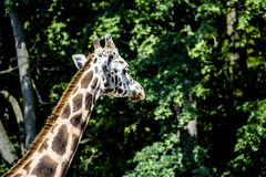 Giraffe. In the zoo. In the morning Stock Photography