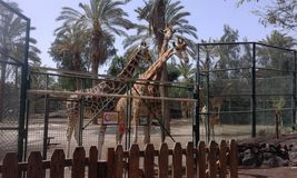 Giraffe in a zoo. Oasi park in fuerteventura Stock Photos