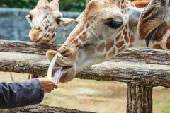 Giraffe ,zoo Stock Images
