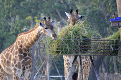 Giraffe in the zoo. In pattaya thailand Royalty Free Stock Photography