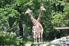 Two Giraffes in zoo Royalty Free Stock Photos
