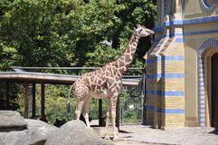 Giraffe in zoo Royalty Free Stock Images