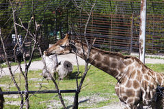 Giraffe in a zoo. The giraffe in a zoo rejoices to new visitors Stock Images