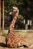 giraffe in zoo Stock Photo