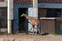 Giraffe. At the zoo of Russia Royalty Free Stock Photography