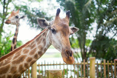 Giraffe in the zoo Stock Photography