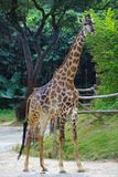 A giraffe  in the zoo. Shenzhen,CHINA Stock Images