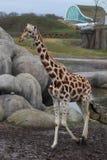 Giraffe in zoo. Giraffe standing in zoo by the lake. Foto taken in Wildlands zoo in Emmen stock images