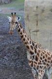 Giraffe in zoo. Giraffe standing in zoo by the lake. Foto taken in Wildlands zoo in Emmen royalty free stock photography
