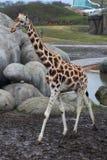 Giraffe in zoo. Giraffe standing in zoo by the lake. Foto taken in Wildlands zoo in Emmen royalty free stock image