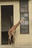 Giraffe in zoo Royalty Free Stock Photo