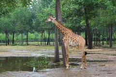 Giraffe at the zoo Royalty Free Stock Photo