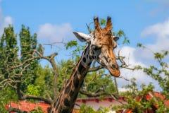 Giraffe at the zoo. In the sun royalty free stock photos