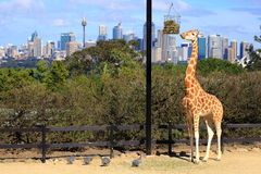 Giraffe in Zoo with Sydney scenery. A giraffe in its enclosure eating while birds on the ground picking the leftovers - at Taronga Zoo, which is best known for Stock Images