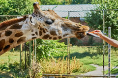 Giraffe at the zoo Stock Photography