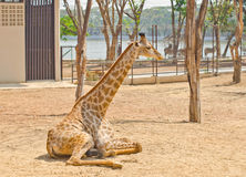 Giraffe in the zoo Stock Images