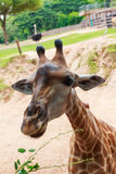 Giraffe in Zoo. At Thailand Stock Photography