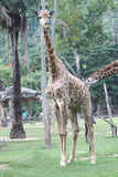 Giraffe in zoo Royalty Free Stock Photo