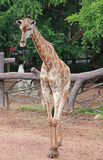 Giraffe in the zoo. In Thailand Royalty Free Stock Images