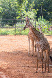 Giraffe in the zoo royalty free stock images