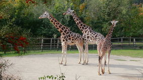 Giraffe at the zoo. Three Giraffes at the zoo stock footage