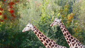 Giraffe at the zoo. Two Giraffes at the zoo stock video footage