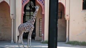 Giraffe At Zoo Royalty Free Stock Photo