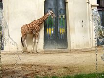 Giraffe in zoo waiting by the doors royalty free stock image